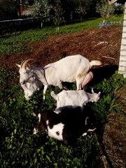 Породам трёх козлят (козочек)